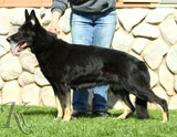 German Shepherd female Ivery