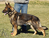 personal protection german shepherd dog for sale
