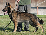 german shepherd Jambo Honajzer