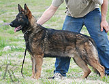 german shepherd Janko
