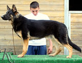 german shepherd Jesko