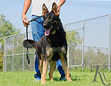german shepherd Jason