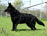 german shepherd Jasper