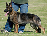German Shepherd female Jenny z Valovy Lahrady