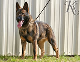 german shepherd Laf