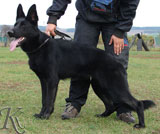 german shepherd Lara z Udoli ediny