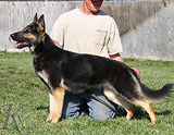 German Shepherd  Layla