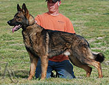 german shepherd Lex