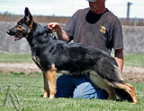 german shepherd dog Lexi