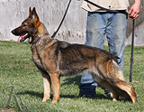 German Shepherd  Liska