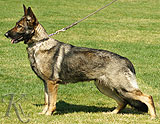 German Shepherd Uxa
