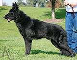 german shepherd  Lord