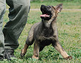 german shepherd  puppy Lynx