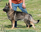 german shepherd Damama