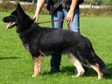 German Shepherd female Mascha