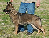 german shepherd Michel Anrebri