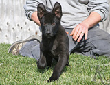 german shepherd puppy Minas