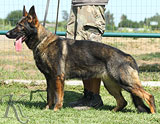 German Shepherd female Moli
