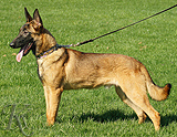 belgian malinois belgian malinois cross puppy for sale