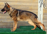 german shepherd  dog  Neck