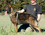 German Shepherd  Ojda