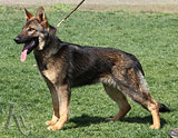 German Shepherd  Onyx