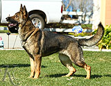 German Shepherd female Ora Z Jirkova Dvora