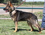 German Shepherd dog  Otto