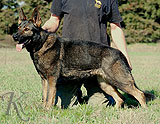 german shepherd dog Ozi