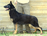 german shepherd  Poli