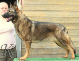 german shepherd  dog  Puma