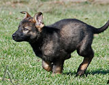german shepherd puppy Qillem
