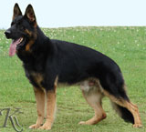 german shepherd  dog  Quanto