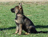 german shepherd puppy Quila