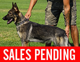 AKC registered german shepherd puppy / young adult for sale