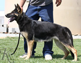German Shepherd female Reima