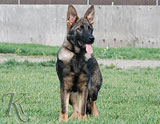 german shepherd puppy Reine