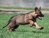 german shepherd puppy Sanuk