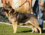 German Shepherd female Sany Get-Pet