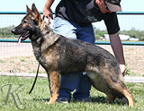 German Shepherd dog  Sasko