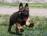 german shepherd puppy Sofi