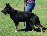 trained personal protection german shepherd dog for sale