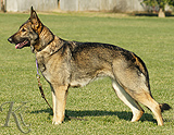 German Shepherd female  Djana