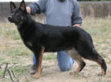 german shepherd  dog  Venom