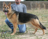 german shepherd dog Vera