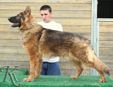 german shepherd Wallace