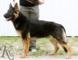german shepherd  dog  Walter