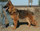german shepherd  dog  Wanda