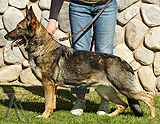 German Shepherd female Dipsy