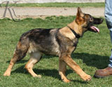 german shepherd puppy Xamba